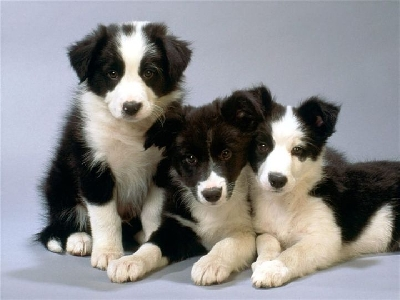 border collie de vanzare